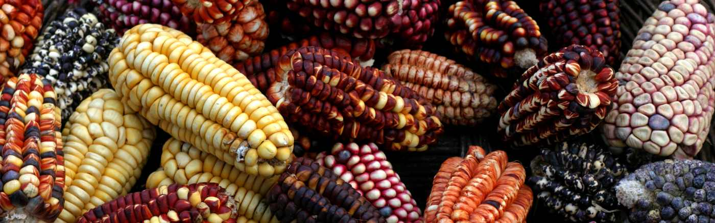 Choclo maize - Typical Peruvian Food