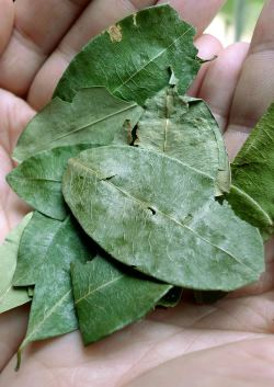 Chewing coca leaves on the Inca Trail