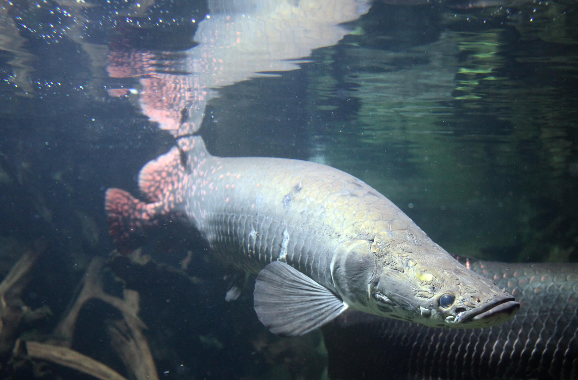 A real Amazon river monster - the Arapaima