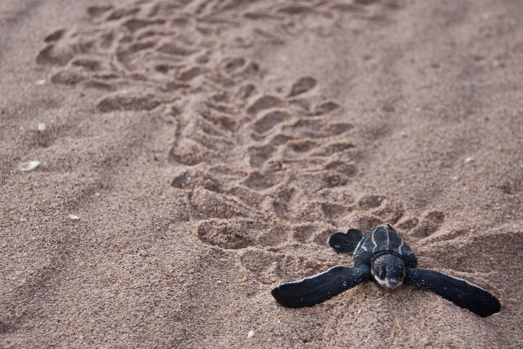 baby sea turtle, realworld, cutest animals in south america