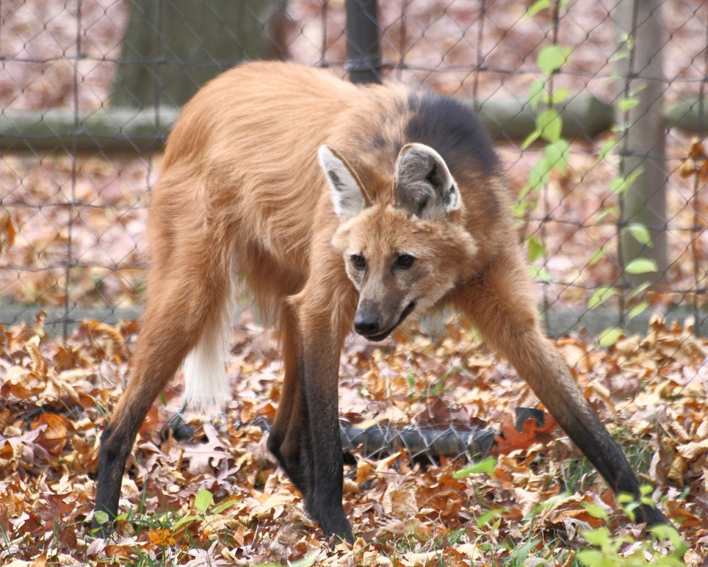 Maned_Wolf, realworld, weirdest animals in south america