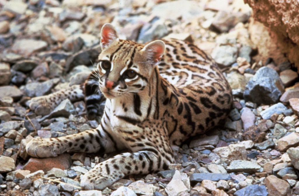Ocelot, realworld, cutest animals in south america