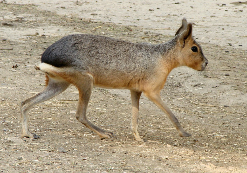 patagonian-mara, realworld, weirdest animals in south america