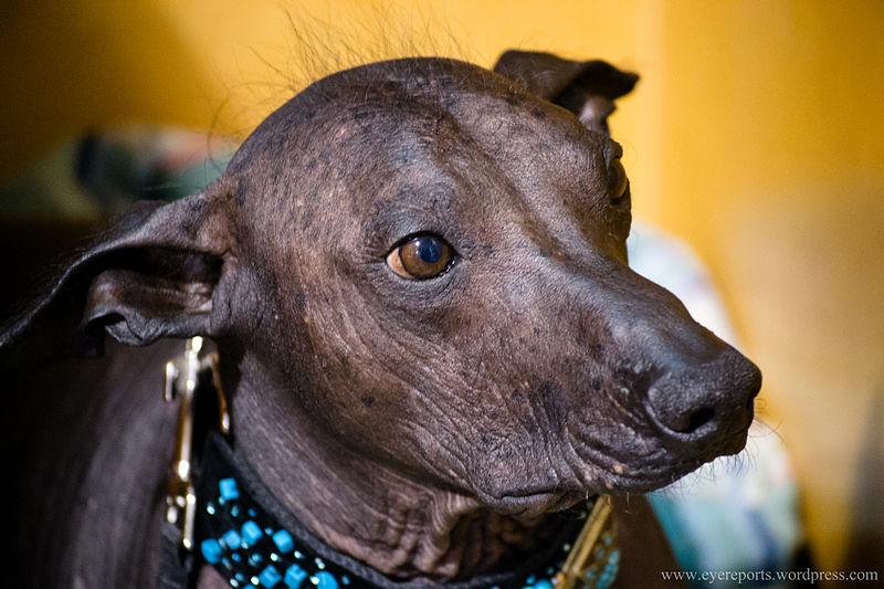 peruvian hairless dog, realworld, weirdest animals in south america