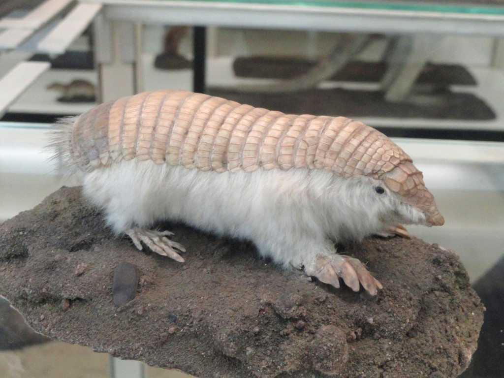pink fairy armadillo, realworld, weirdest animals in south america