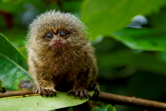 Pygmy_marmoset, realworld, cutest animals in south america