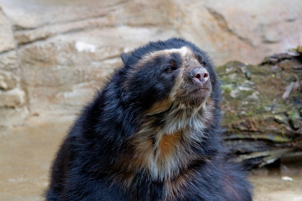 spectacled bear, realworld, cutest animals in south america