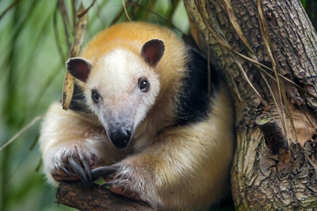 tamandua, realworld, cutest animals in south america