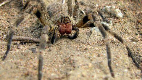 Brazilian wandering spider (wiki)
