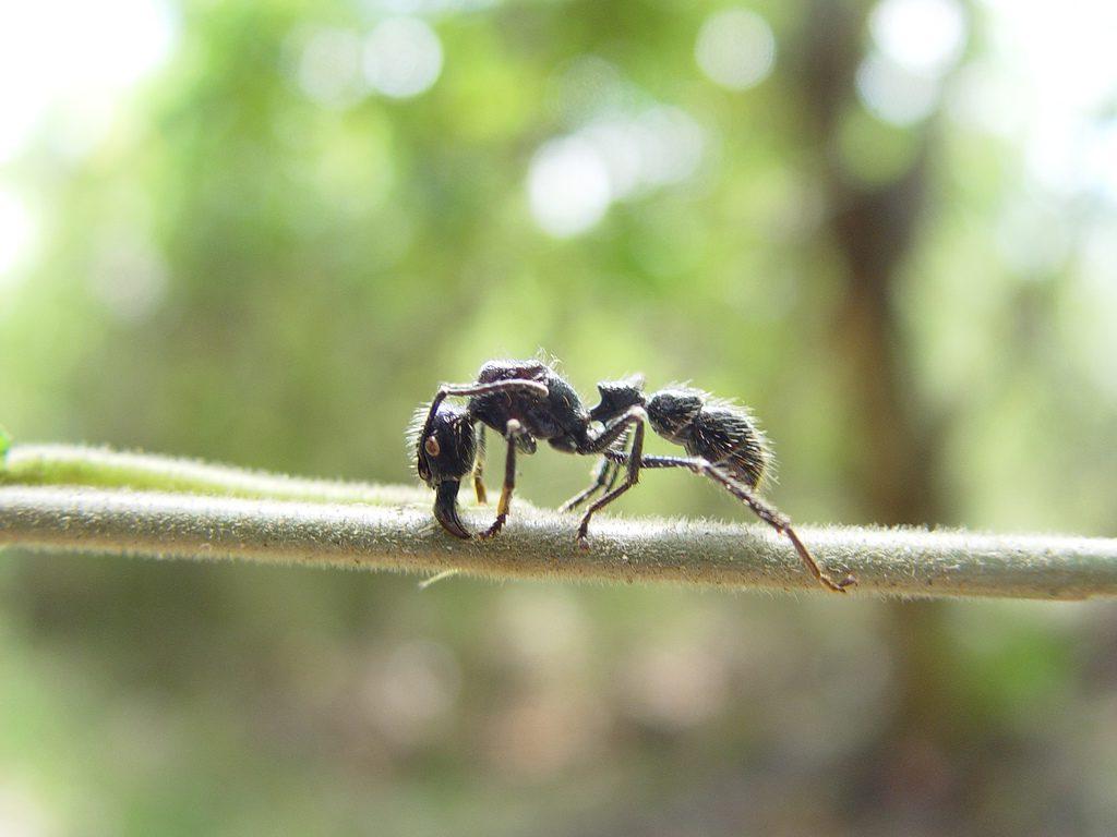 bullet ant (wikimedia)