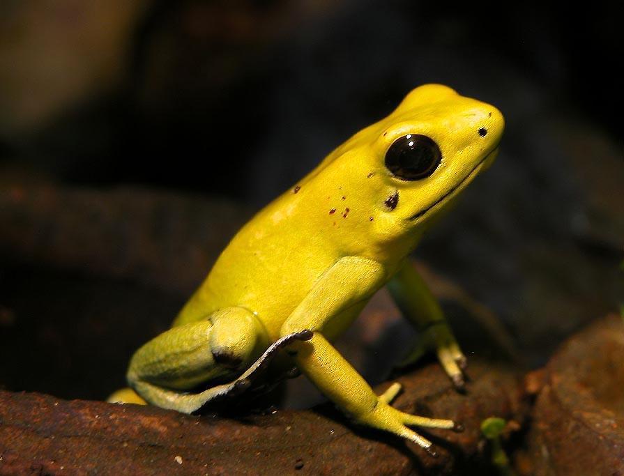 golden poison dart frog (wiki)