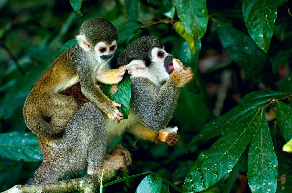 Squirrel monkeys on a branch