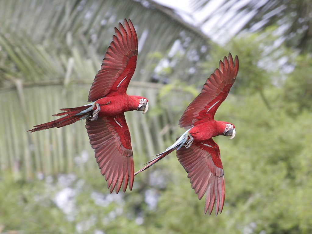 Red parrots flying