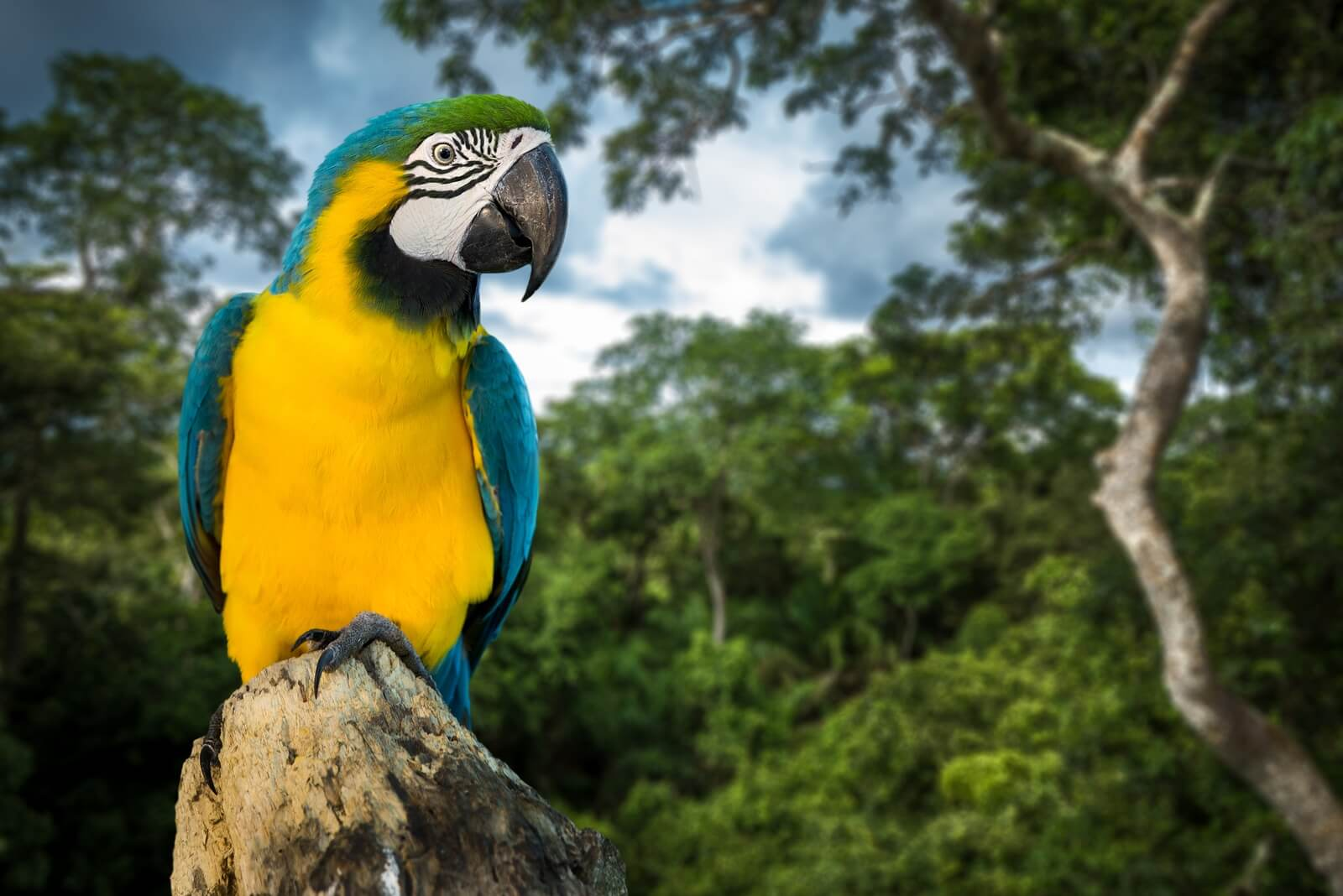 Blue and Yellow Macaw in Amazon rainforest