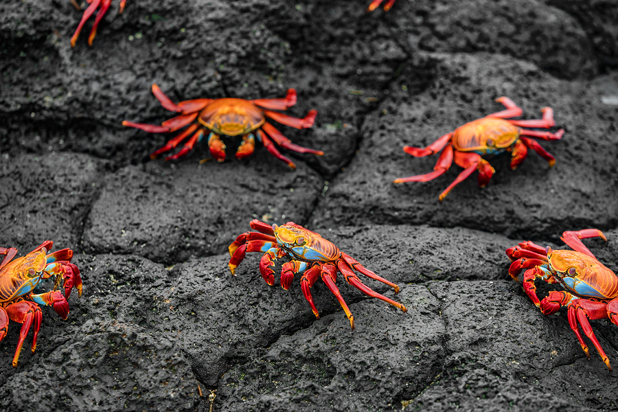 Sally Lightfoot Crabs on Galapagos Islands eating on rock.