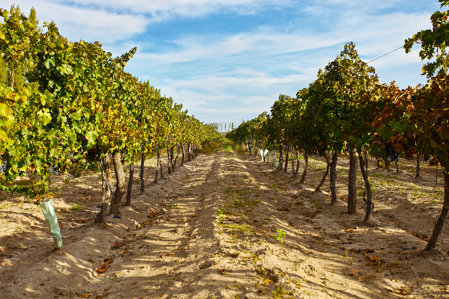 A vineyard in Mendoza