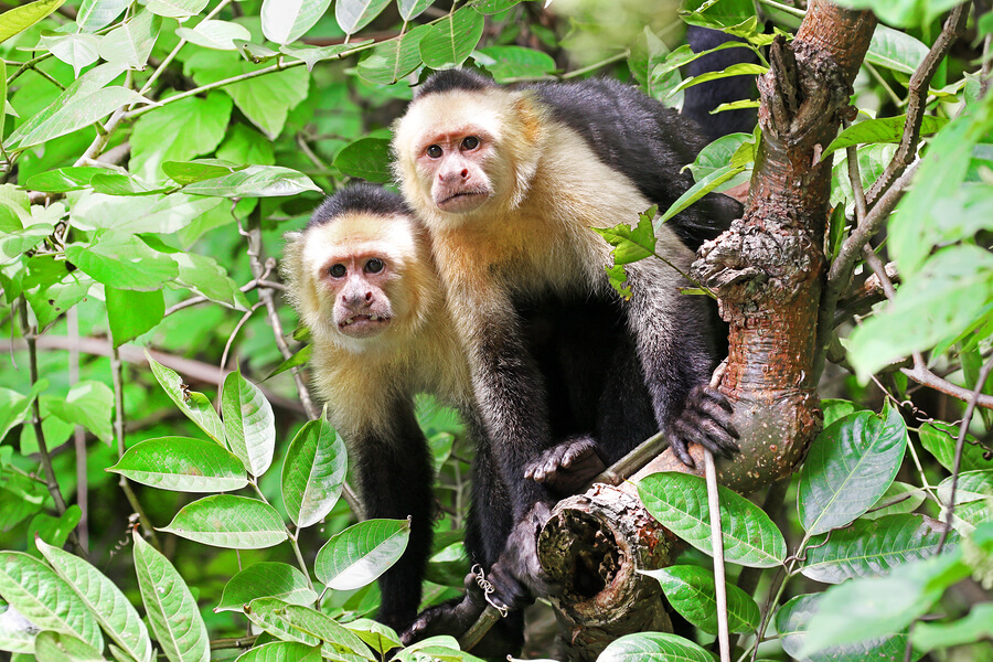 Two curious monkeys perched on a branch in a forest in Costa Rica.