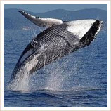 Whale-watching in Florianopolis